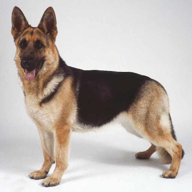 German Shepherd Dog History