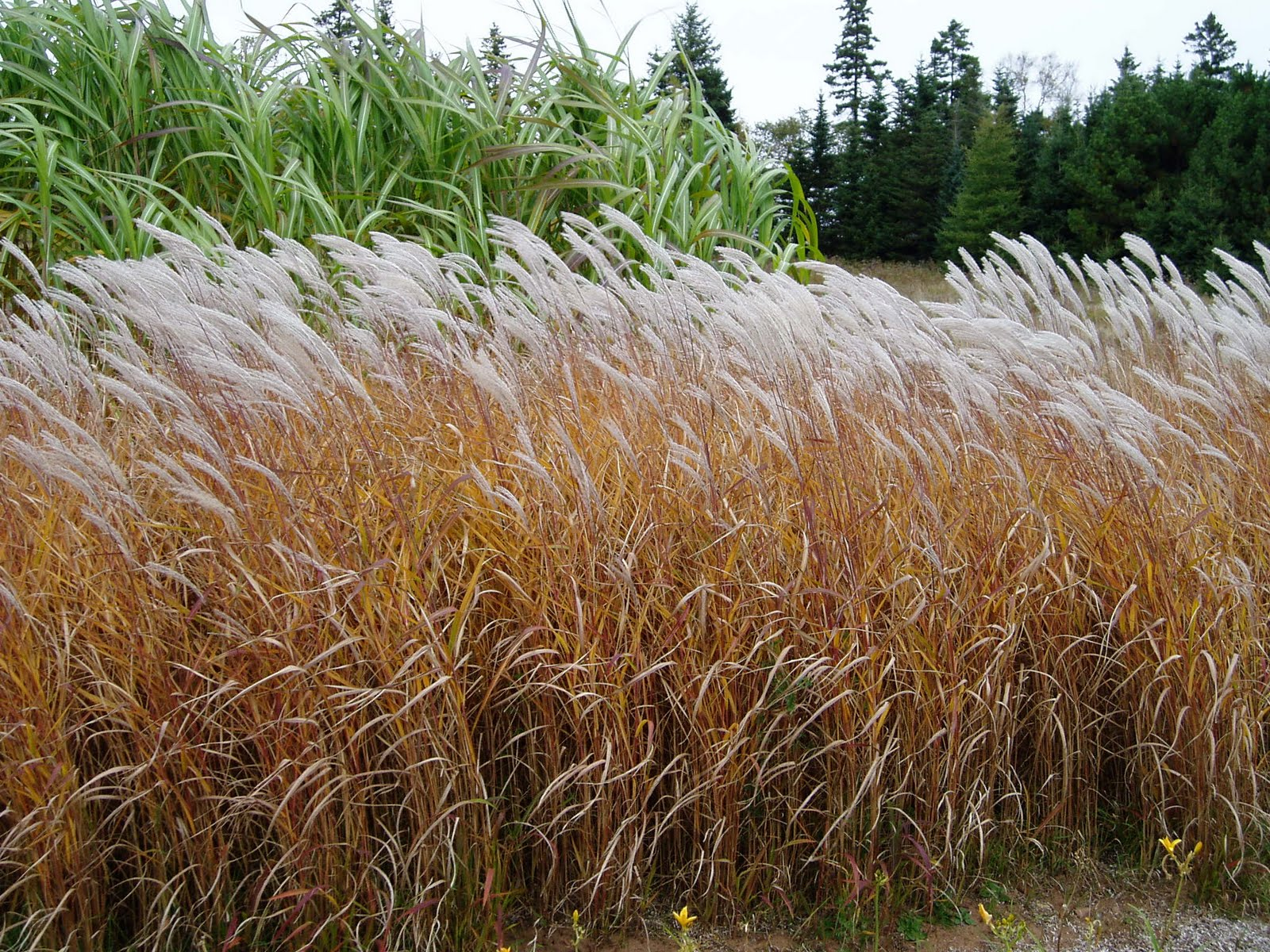 Image gallery miscanthus purpurascens for Coloured ornamental grasses