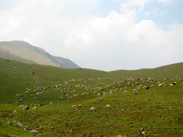 Sheep at Syari