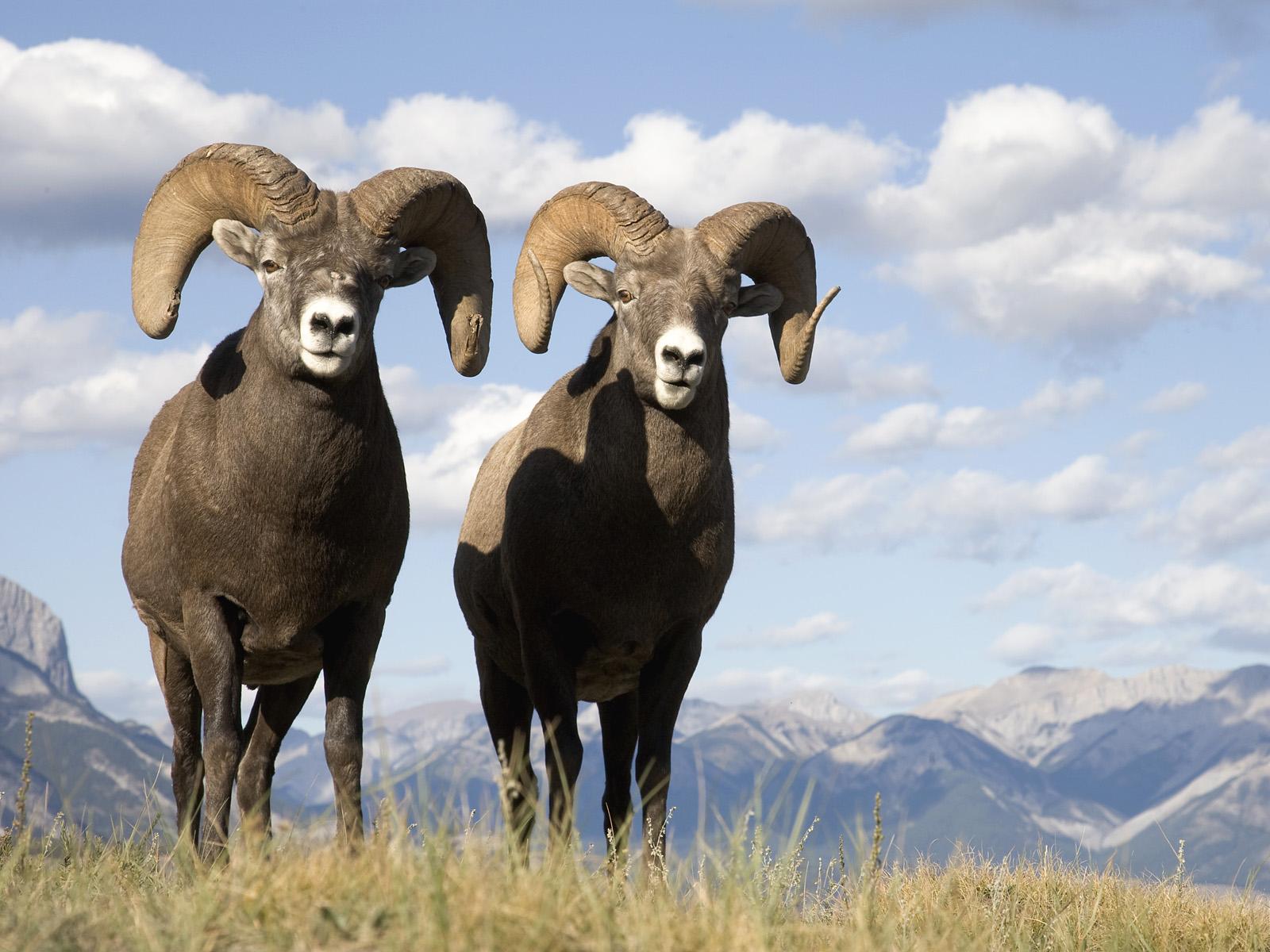 Follow the Piper: BIGHORN SHEEP