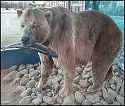 975 Pound Hungry Hill Grizzly Bear STEELHEAD PARK