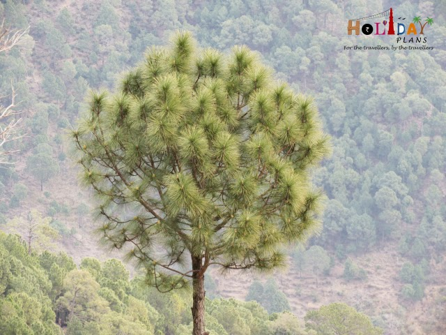 Beautiful trees at Kasauli