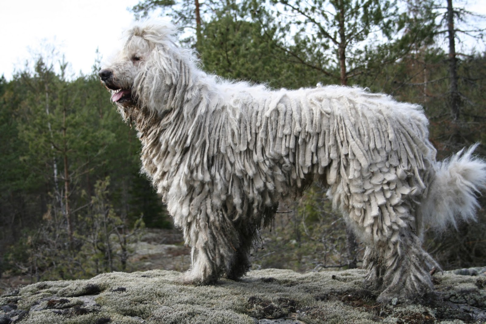 Dog Komondor is a large white dog with long fur likea ... Komondor Dog Pictures