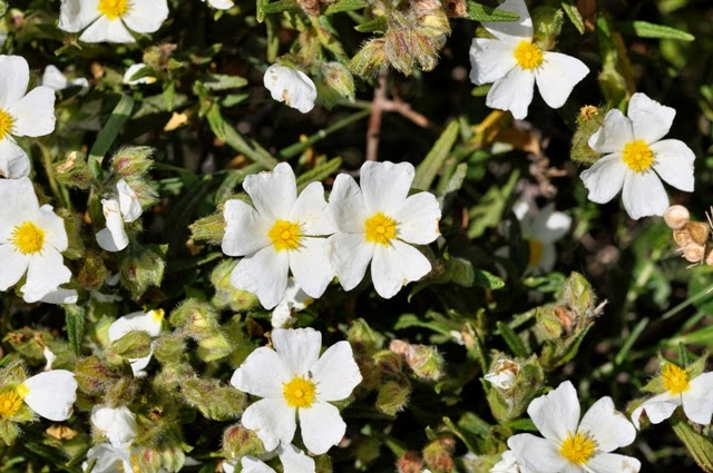 The White Rockrose Is A Rare Cistus That Grows In Two Or Three Locations Malta And Gozo It Closely Related To Y Which Has Larger
