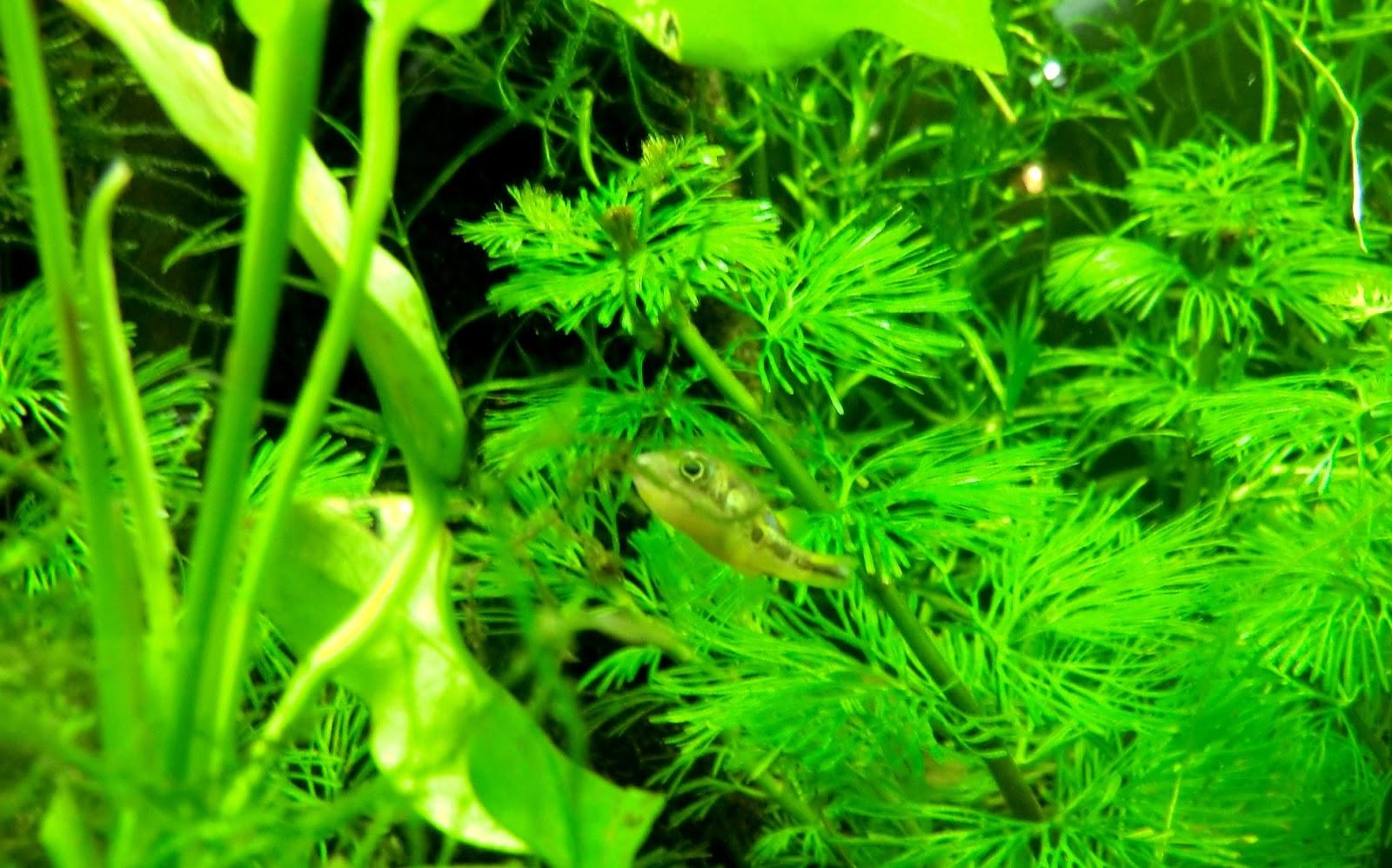 The fishtank dwarf puffer tank 5 gal nano tank for Dwarf puffer fish