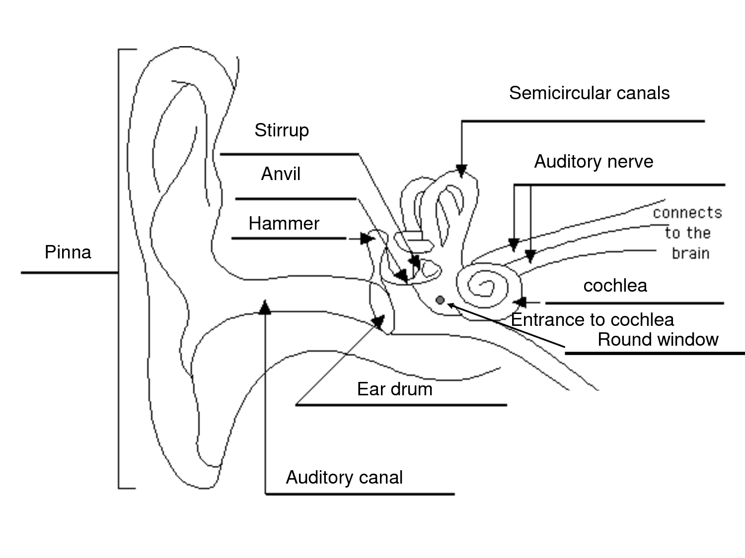 Ear diagram simple free download wiring diagrams revision centre human biology edexcel igcse coordination a simple diagram of an ear at simple ear anatomy ccuart Gallery