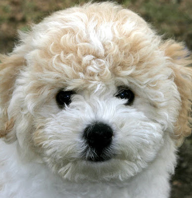 Bichon Puppies Pictures