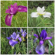 Se alle mine Iris sibirica her