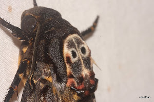 "Greater Deaths Head Moth.Made publicly famous in the hollywood movie, ""The Silence of the Lambs""."