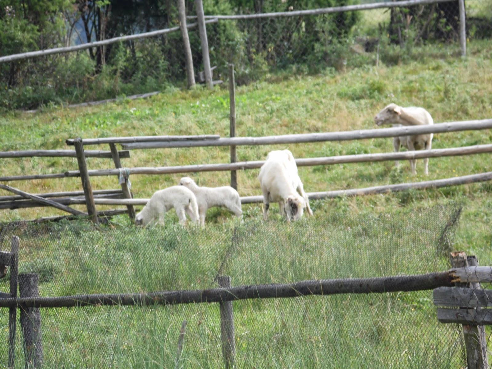 pieniny wypas owiec