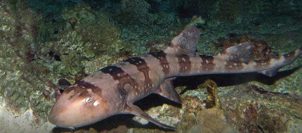White spotted bamboo shark White Spotted Bamboo Shark