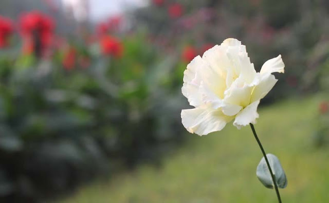 Lisianthus Flowers Pictures