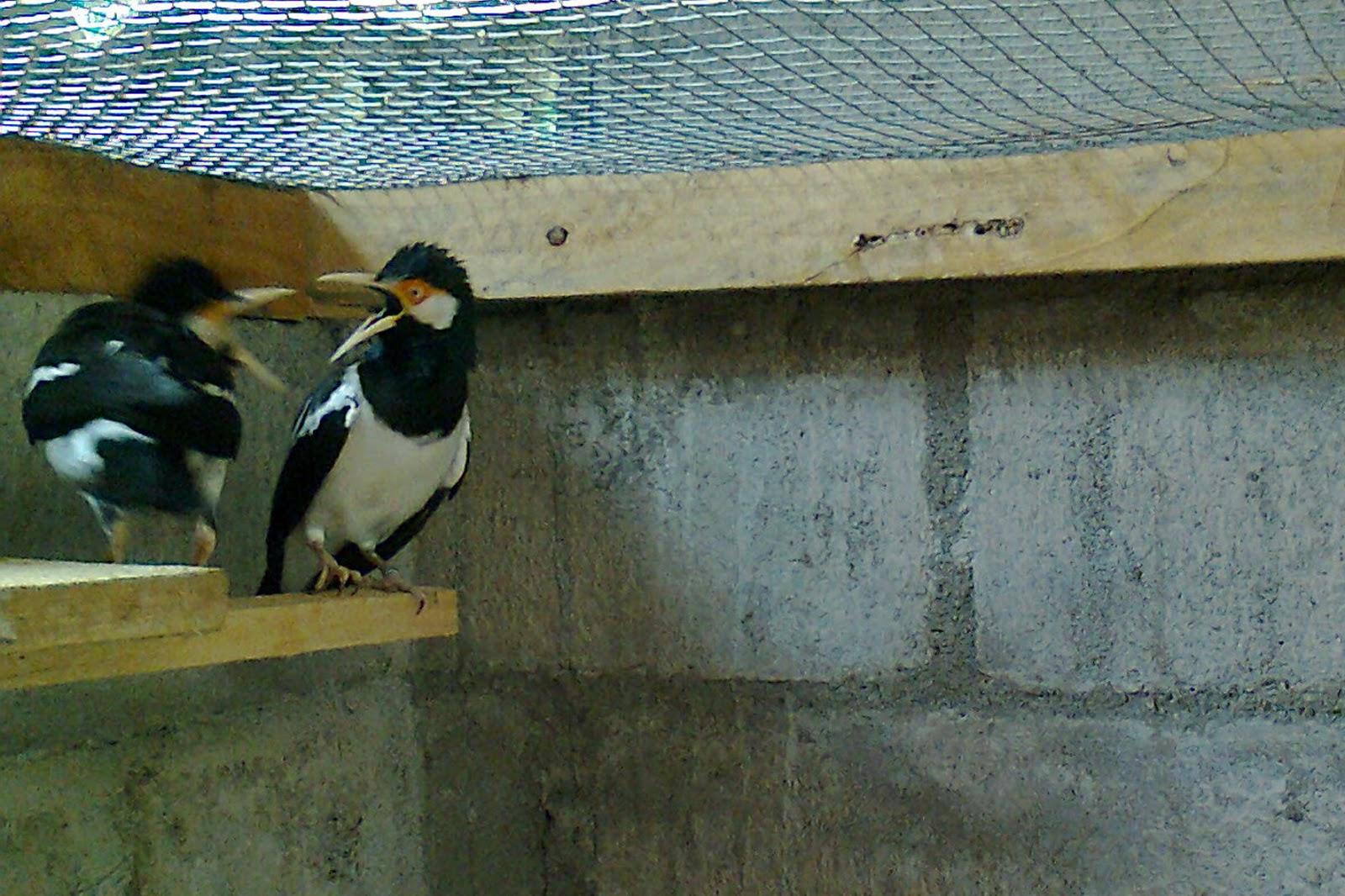 burung jenis jalak uren atau jalak suren membuat para penjual burung ...
