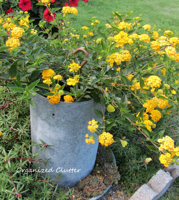 Lantana in a chicken feeder
