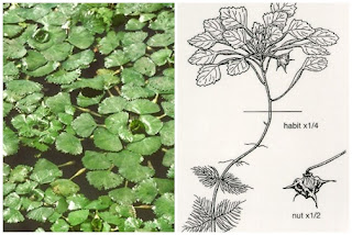 water chestnut and seed