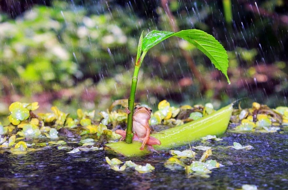 50 Powerful Photos Capture Extraordinary Moments In The Wild - A frog sails through the rain on a homemade sailboat.