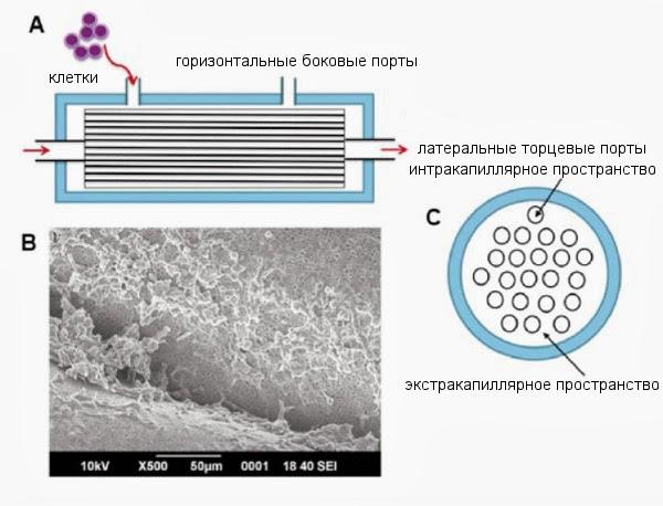 Схема биореактора для in vitro культивирования гемопоэтических стволовых клеток
