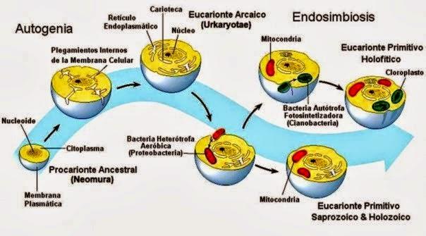 celular procariotas eucariotas endosimbiosis mitoncondrias cloroplastos