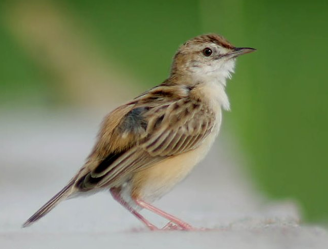 burung cingklong/cici padi