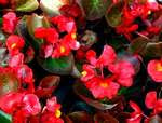 Begonia flowers red