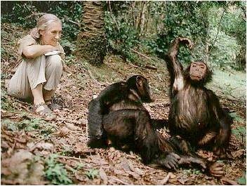 jane goodland chimpanzees