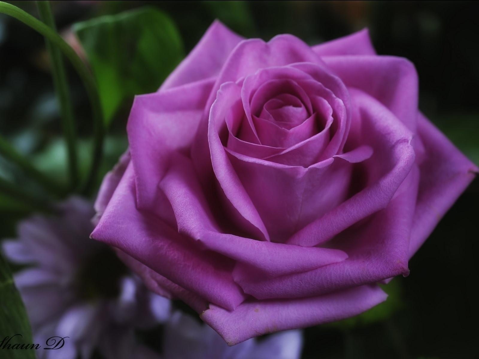 Galería de Imágenes y Fotos Bonitas: Hermosas rosas lilas para ...