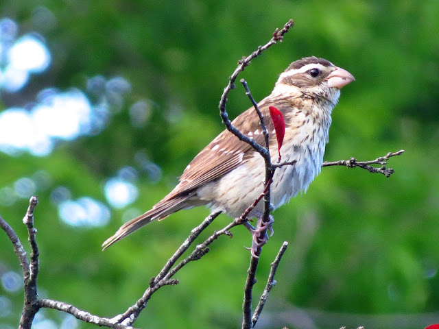 rose breasted grosbeak female in tree