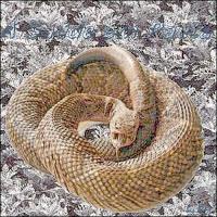 Cobra Cascavel, de cujo veneno é extraída a toxina Crotamina, que segundo pesquisas do Butantan, pode curar o câncer de pele.