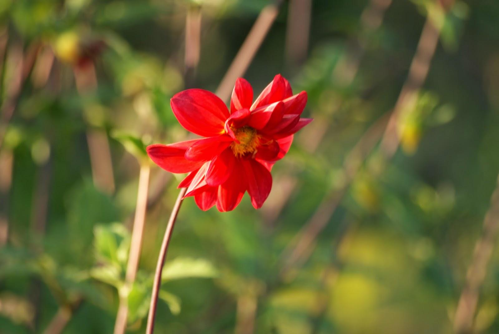 macro photography fotografia mały czerwony kwiat red little flower