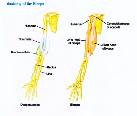 Bodybuilding: Bodybuilding anatomy. Biceps