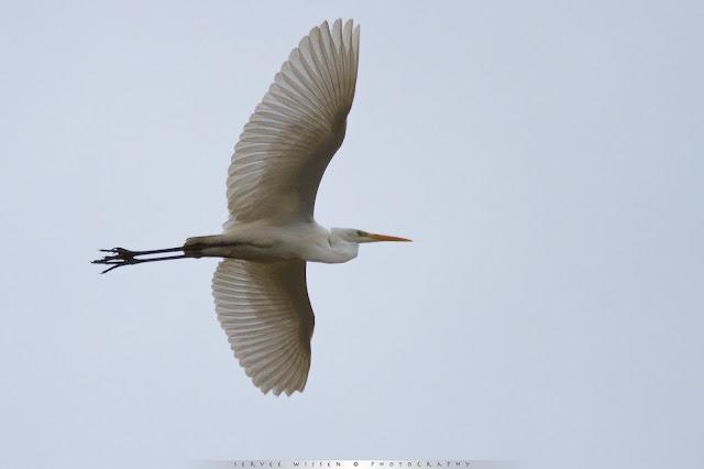Grote Zilverreiger - Great White Egret - Casmerodus albus