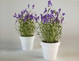 Inilah 7 Jenis Bunga Yang Bisa Mengusir Nyamuk