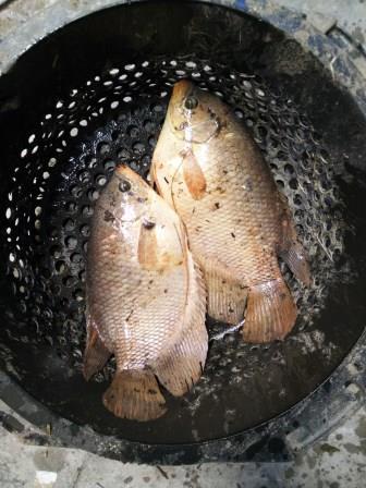 hasil gurame kolam terpal