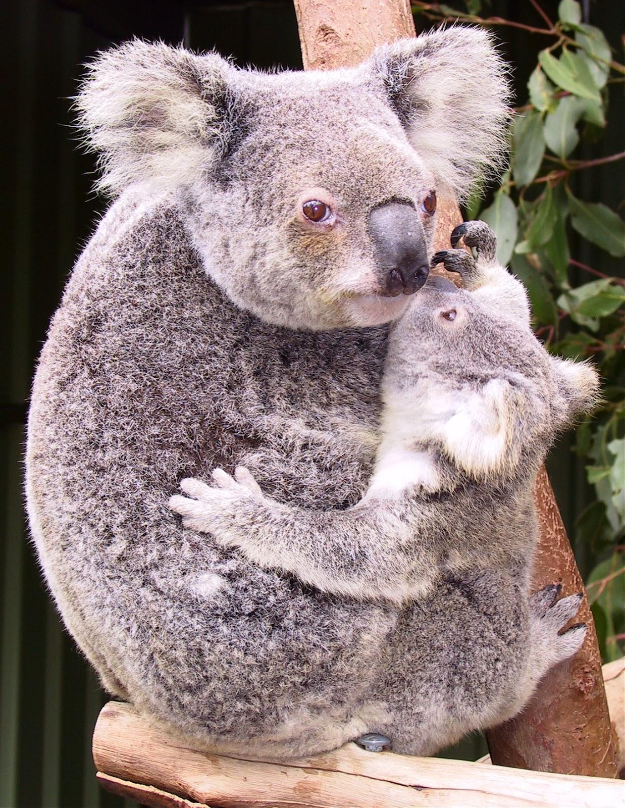 The jungle store keeping baby koalas safe - Pics of baby koalas ...