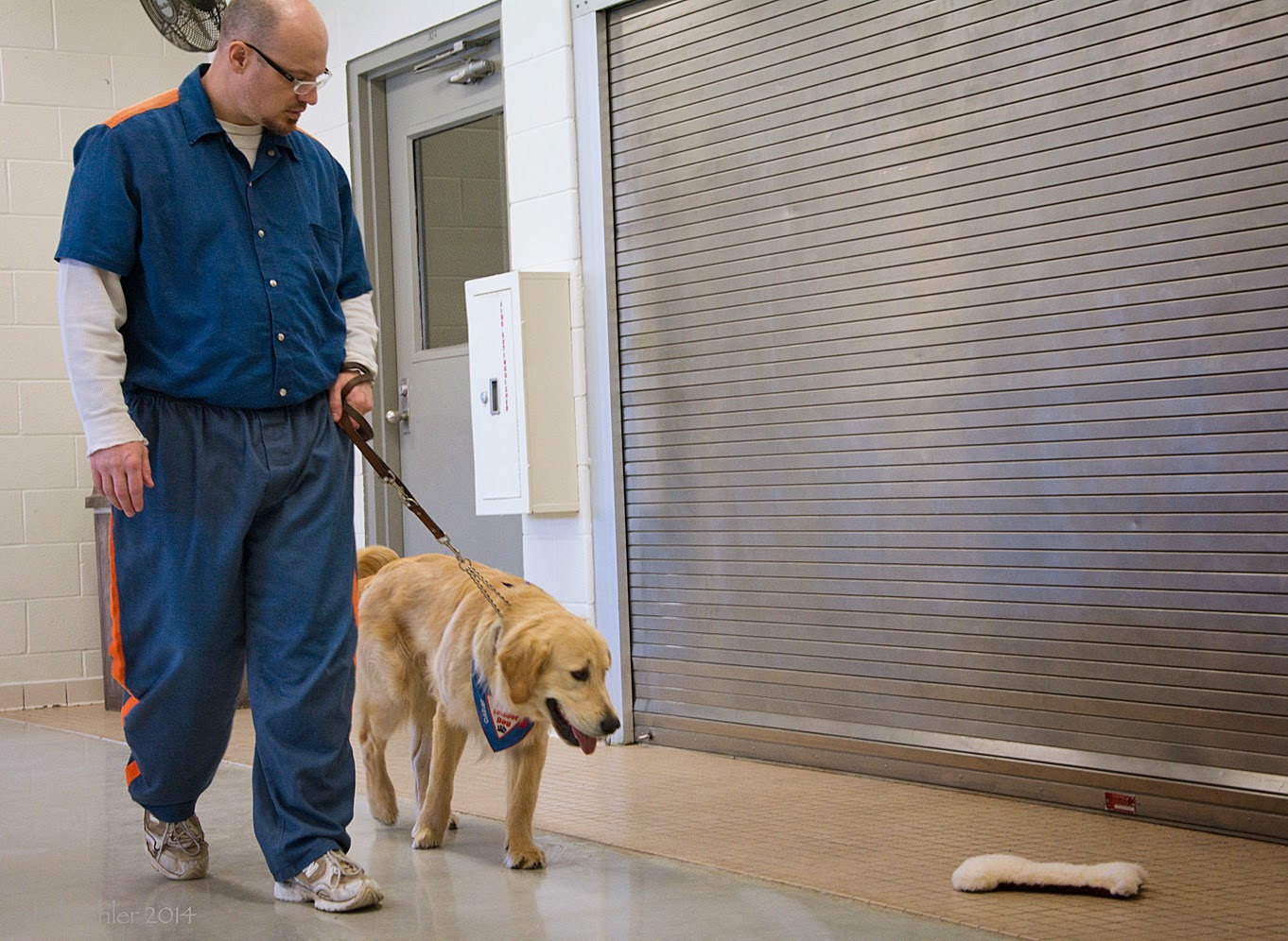 A different man, wearing the same prison uniform but with a long sleeve white t-shirt under the blue shirt is walking toward the camera from the left. He has a brown leash wrapped around his left hand, attached to a golden retriever that is wearing the blue Future Leader Dog bandana. The man is wearing glasses and is looking down at the dog, who is looing at the soft bone toy ahead of him on the right. The leash is taut.