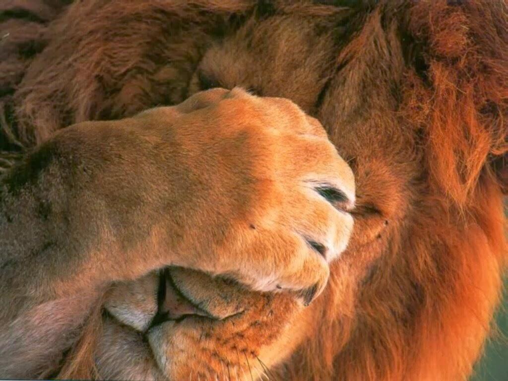 Beautiful Wallpaper Lion Facebook - the_lion-normal  Image_477316.jpg