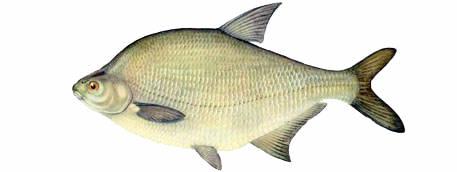 Рыбы речные раскраски