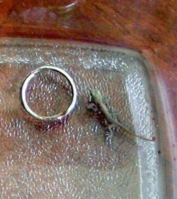 Baby gecko, La Ceiba, Honduras