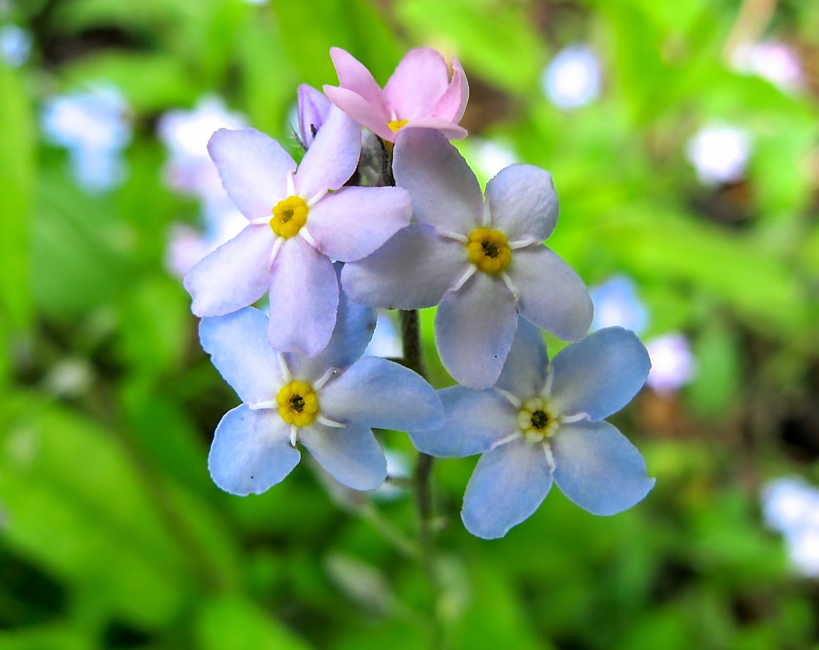 forget-me-knot photograph