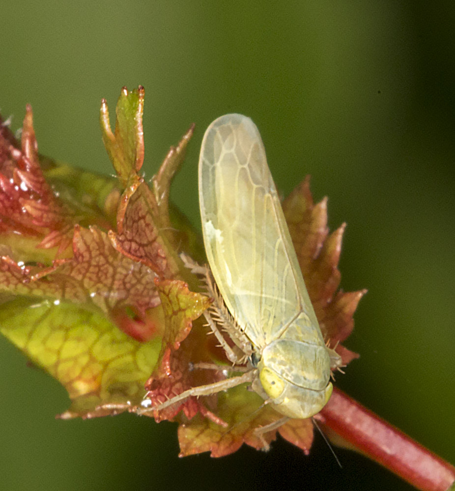 Leafhopper.  Elymana species.  High Elms Country Park, 26 May 2014.