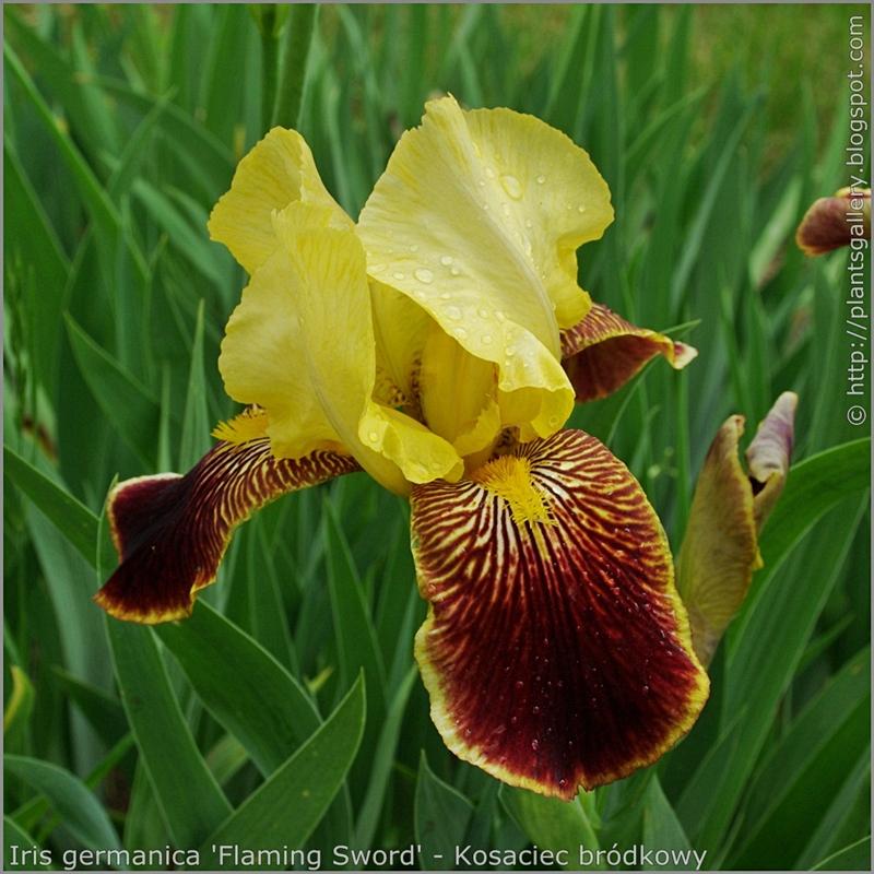 Iris germanica 'Flaming Sword' - Kosaciec bródkowy 'Flaming Sword'  kwiat