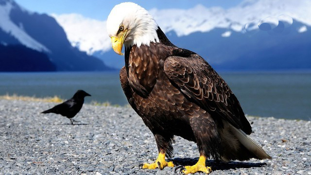 american eagle hd wallpapers download free bird images