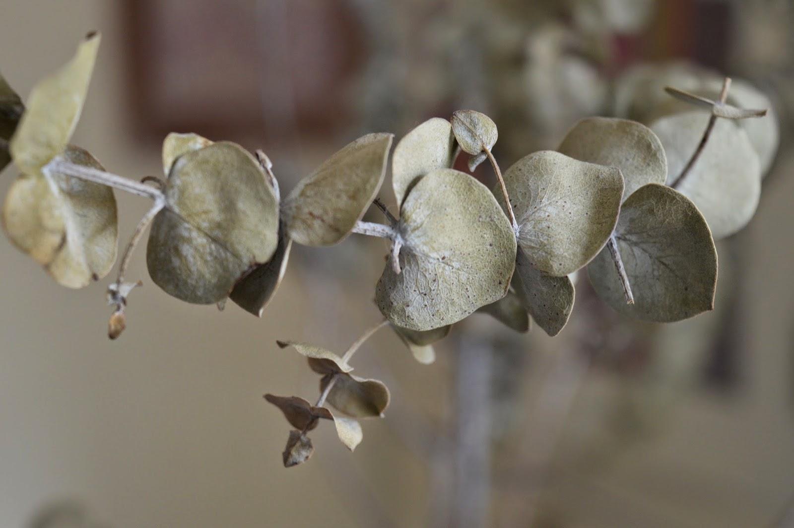 olaimar eucalipto