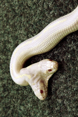 The Nicest Pictures Snake With 2 Heads