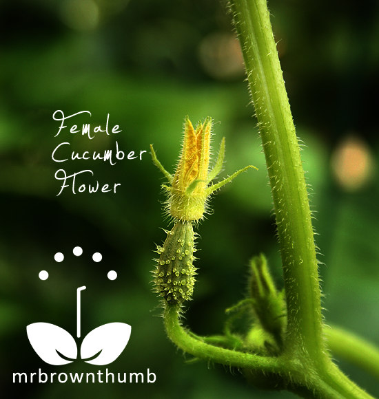 Pollinating Cucumber Flowers - MrBrownThumb
