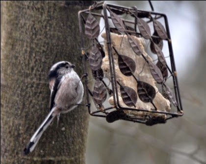 long-tailed tit at feeder
