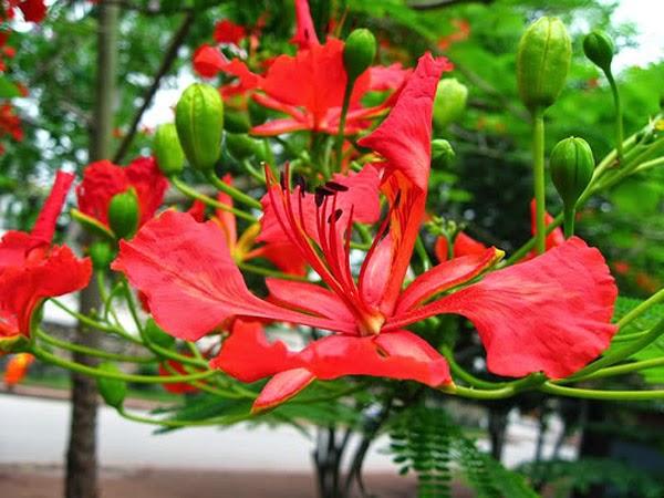 hoa phượng đỏ