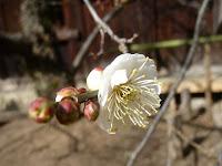 雪が舞う厳冬の最中、春を告げるかのように咲き始めた。