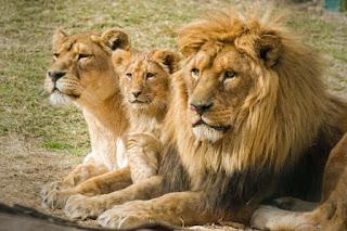 reproduccion leones