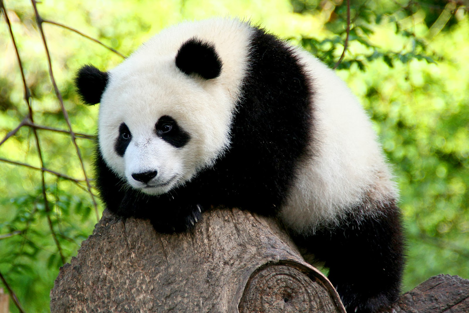 panda free